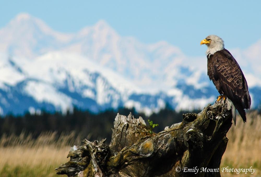 Bald Eagle Glacier Bay