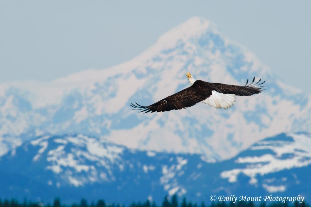 Bald Eagle Mount Crillon
