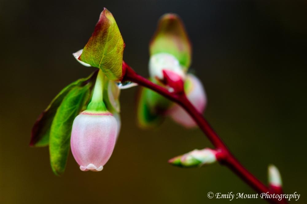 Blueberry blossom