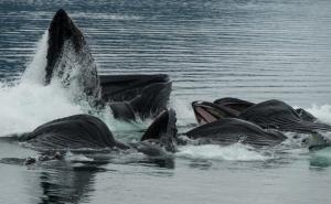 Bubblenetting-Humpback-Whales