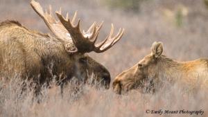 Denali Moose Mating