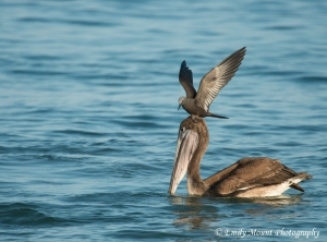 Pelican & Brown Noddy
