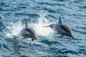Baja Dolphins