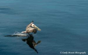 Baja Pelican