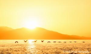 Baja Pelicans