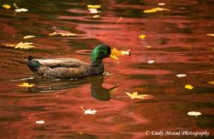 Mallard Duck Oregon