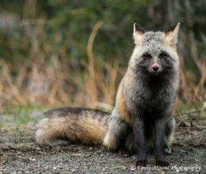 Rainier Fox