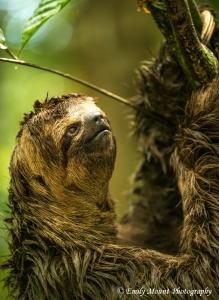 Sloth Peruvian Amazon