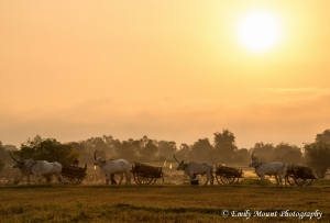 Cambodia Oxcarts