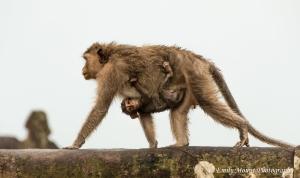 Monkeys Angkor Wat